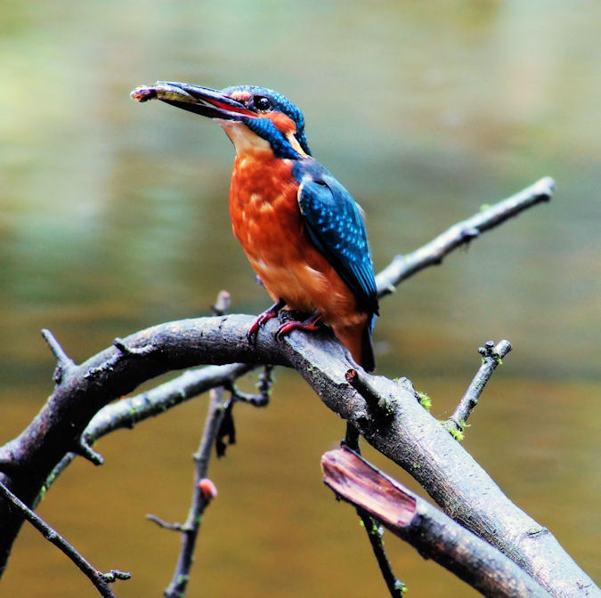 Kingfisher on River Leven