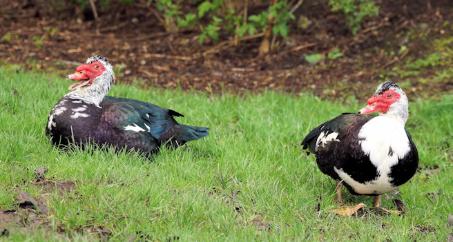 Muscovy Ducks by the River Leven