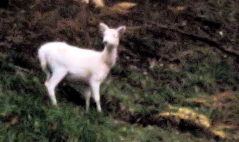 White deer in Vale of Leven